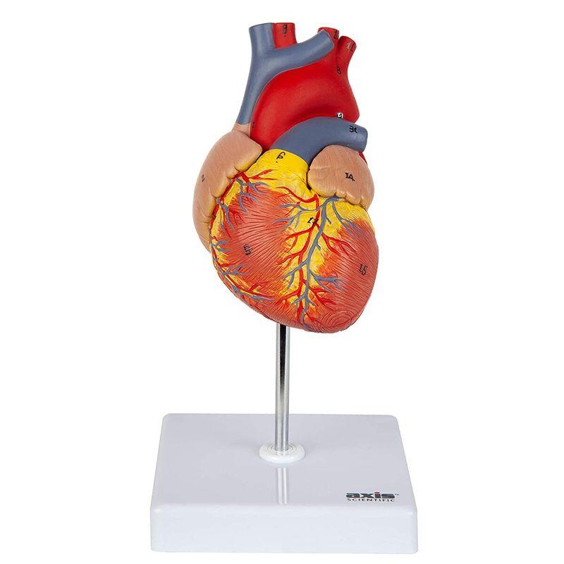 Modelo-corazon-humano-tamaño-natural